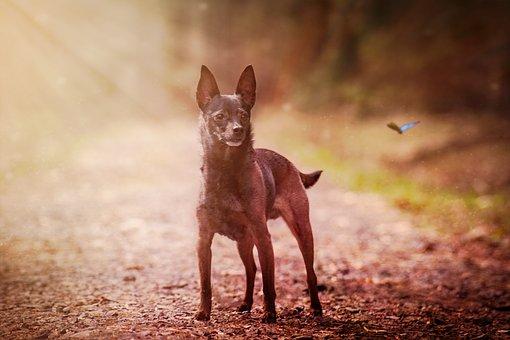 Dog, Miniature Pinscher, Animal, Cute, Nature, Mammal