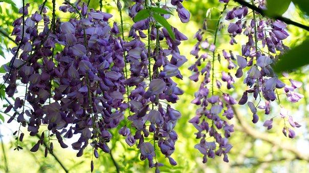Wisteria Rose, Park, Spring, Beautiful, Purple