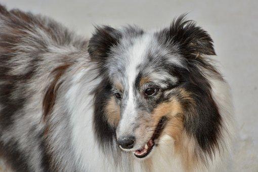 Dog, Bitch Mirage, Shetland Sheepdog, Mammal, Animal