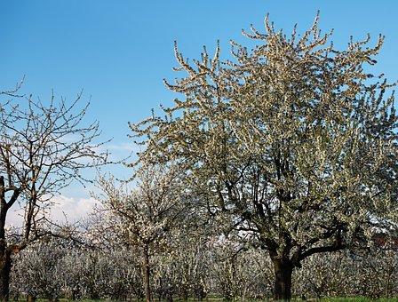 Cherry Trees, Bloom, Spring, Kaiserstuhl
