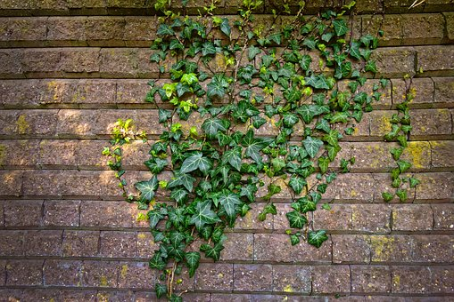 Brick Wall, Wall, Ivy, Climber, Creeper, Vine