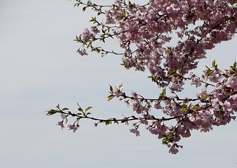 Cherry Wood, Branch, Tree, Flower, Kirch Blossoms