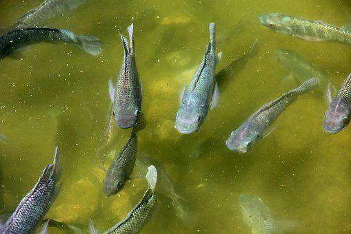 Cichlids, Fish, Nature, Water, Outdoors, Live Fish