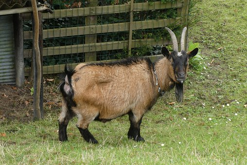 Goat, Mammal, Cattle, Farm, Animals, Cute, Countryside