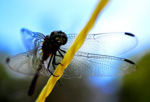 Insect, Dragonfly, Wing, Nature, Diptera, Wildlife