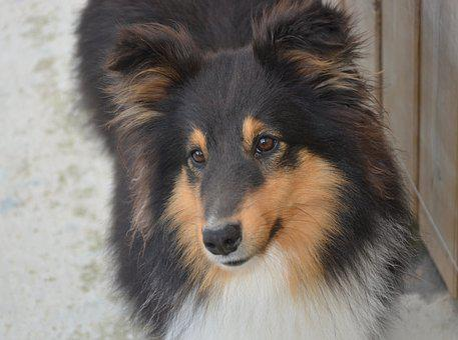 Dog, Dog Me Love Shetland Sheepdog, Mammal, Canine
