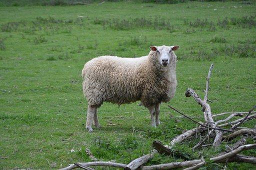 Sheep, Agro-industry, Lawn, Mammal, Prairie, Field