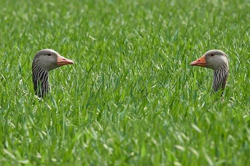 Geese Pair, Grass, Head, Breed, Field, Nature, Summer