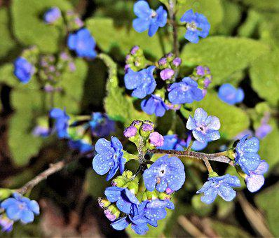 Flower, Spring Navel Nuts, False Forget-me-not