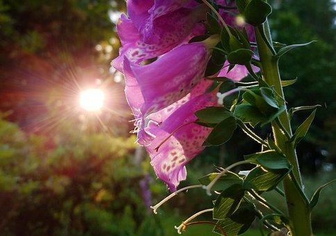 Nature, Flower, Flora, Leaf, Summer, Foxgloves, Plant