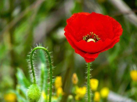 Poppy, Flower, Nature, Plant, Outdoors, Summer, Petals