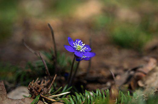 Nature, Outdoors, Plant, Flower, Hepatica, Spring
