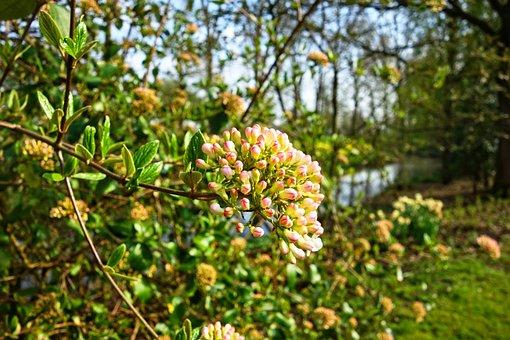 Viburnum Anne Russel, Viburnum, Flower, Snowball, Shrub