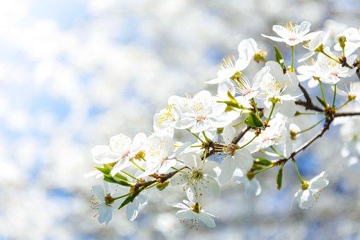 Flowering Crabapple, Flower, Cherry, Nature, Plant
