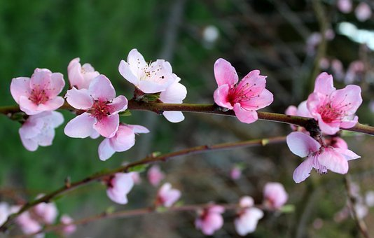 Peach, Fruit Trees, Flowering Trees, Spring, Flower