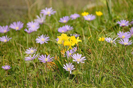 Spring Meadow, Flowers, Flower Meadow, Osterglocken