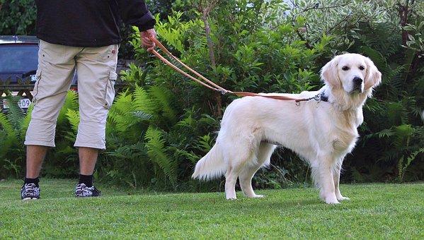 Dog, Grass, Pet, Golden Retriever, Retriever, Leash
