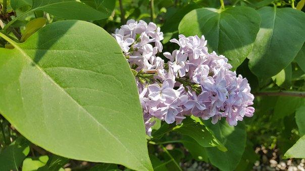 Lilac, Hell, Purple, Pastel, Plant, Fragrance, Leaf