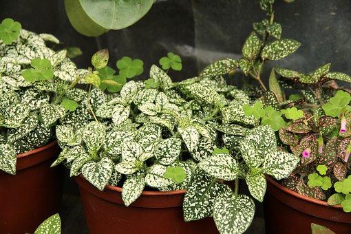 Gipoestes, Hypoestes, Plant, Sheet, Nature, Garden