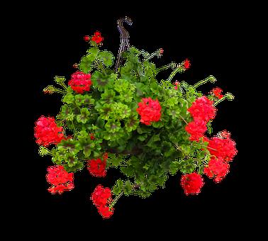 Nature, Flower, Incomplete, Geranium, Hanging Basket
