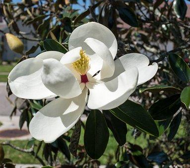 Magnolia, Close Up, Flower, Flora, Nature, Leaf