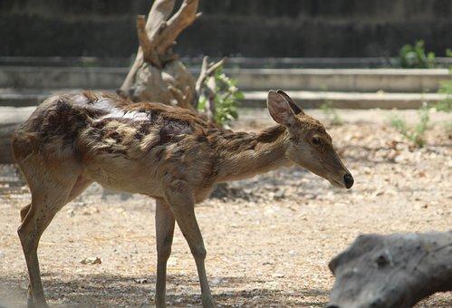 Deer, Wildlife, Mammal, Animal, Nature, Wild, Grass