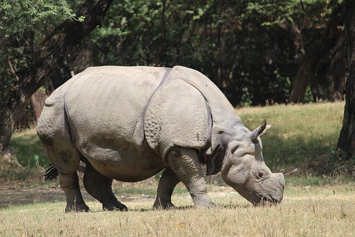 Rhinoceros, Zoo, Animal, Wildlife, Wild, Nature, Mammal