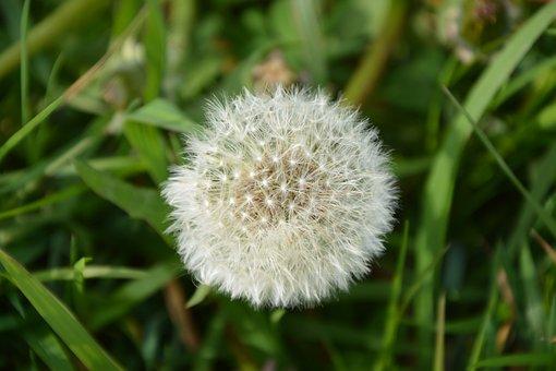 Egret Dandelion, Blow On Egret, Lawn, Nature, Plant