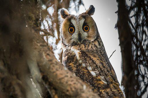 Owl, Long-eared Owl, Bird, Animal, Nature, Beak, Great
