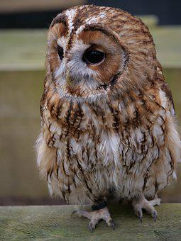 Tawny Owl, Wildlife, Animal, Bird, Nature, Mammal