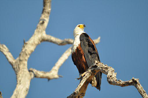 Wildlife, Bird, Nature, Outdoors, Raptor, Animal, Eagle