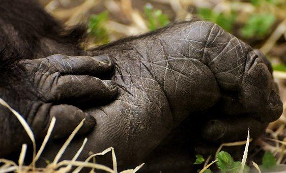 Gorilla, Foot, Hand, Monkey, Animal, Furry, Omnivore