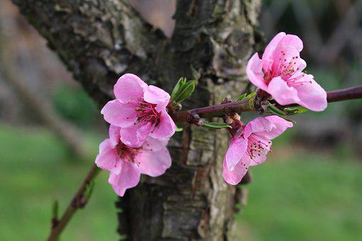 Peach, Fruit Trees, Spring, Pink Flowers, Tree, Nature