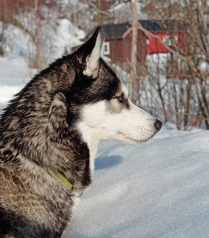 Husky, Dog, Pet, Animal, Breed, Portrait, Siberian