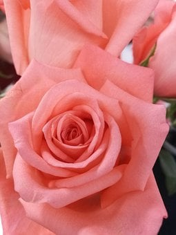 Rose, Flower, Petal, Love, Bloom, Nature, Gifts