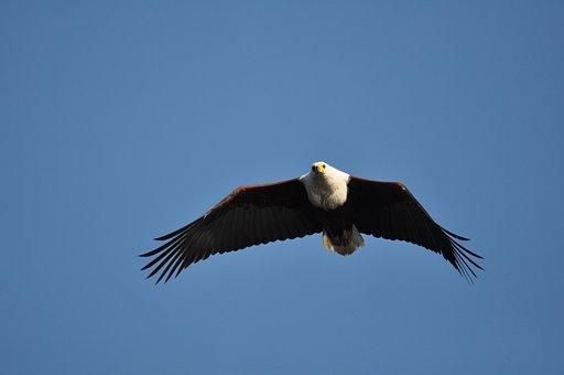 Bird, Raptor, Eagle, Wildlife, Flight, Nature, Freedom