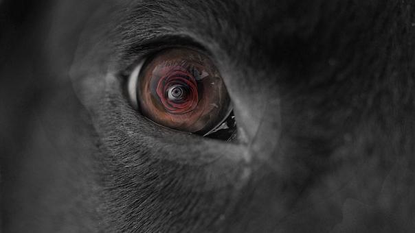 Dog, Eyes, Rose, Pet, Deep, Red, Black, White, Mind