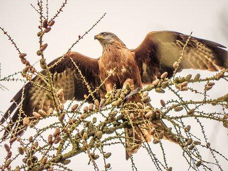 Kite, Red Tailed Kite, Nature, Wildlife, Bird, Animal