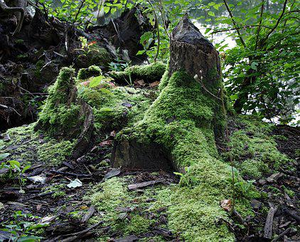 Lets Go, Wild Forest, Mossy Trunk, Root, Old Tree, Burs