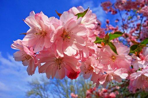 Cherry Blossom, Flower, Cherry Tree, Sakura, Japanese