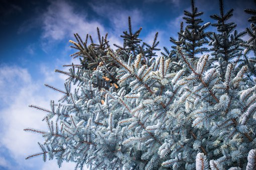 Winter, Leann, Tree, Christmas, Coldly, Snow, Frozen