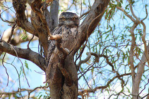 Tawny Frogmouth, Nocturnal Bird, Camouflage, Tree