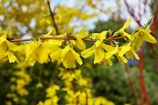 Nature, Plant, Tree, Leaf, Flower, Forsythia