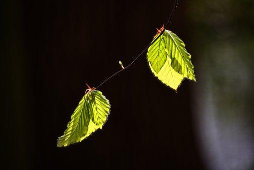 Leaf, Foliage, Twig, Tree, New Leaf, Spring Leaf