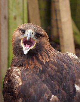 Golden Eagle, Eagle, Raptor, Bird, Wildlife, Prey