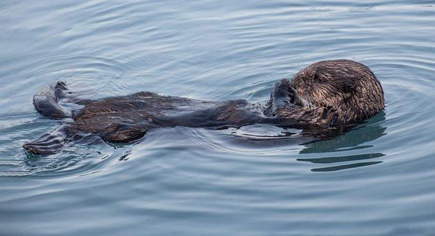 Otter, Wildlife, Alaska, Kenai Fjords National Park