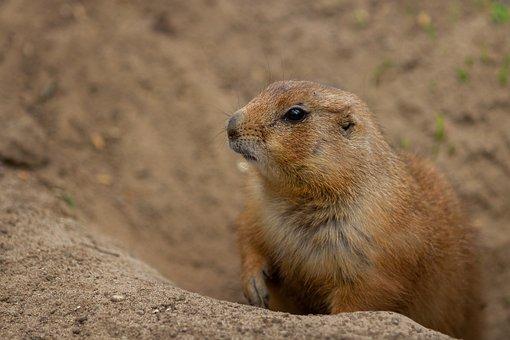 Animal World, Prairie Dog, Wild, Nature, Animal, Cute