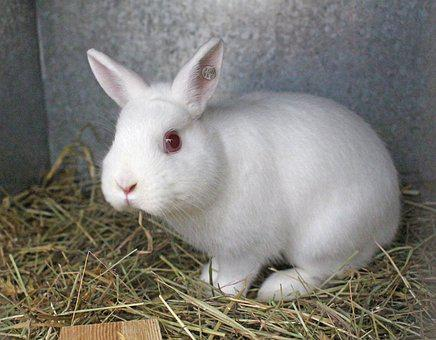 Rabbit, Hare, Cute, Rodent, Animal, Dwarf Rabbit