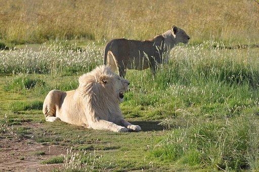 Animal, Wildlife, Mammal, Grass, Nature, Wild, Lion