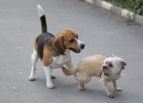 Beagle, Poodle, Dog, Cheerful, Playful, Brown, Animals